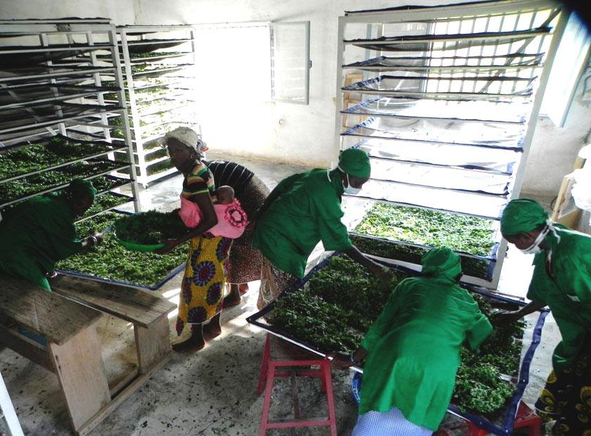 Moringa project in Burkina Faso